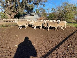 31 Future Breeder Ewe Lambs