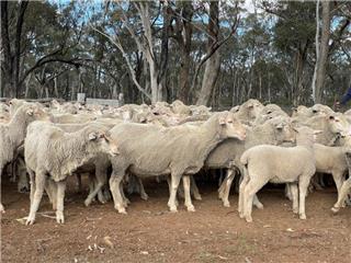 166 NSM Ewes & 208 Lambs