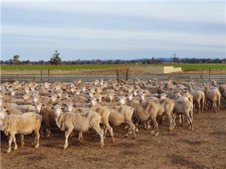 475 SIL Ewes