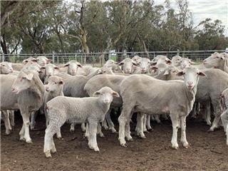 213 NSM Ewes & 250 Lambs