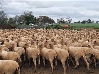 202 SIL Ewe Lambs