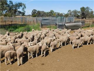 127 Wether Lambs