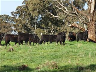 41 Yearling Heifers