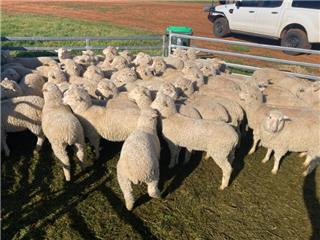 110 Ewe Lambs