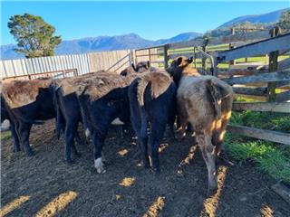 12 NSM Yearling Heifers