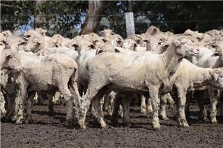 380 Woolgrower Wether Lambs