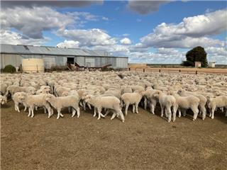 660 Woolgrower Wether Lambs