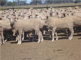 470 Future Breeder Ewe Lambs