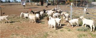 32 Goats - Mixed Sex
