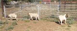 3 Goats - Bucks