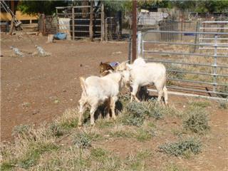 4 Goats - Bucks