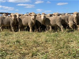 140 Store Wether Lambs