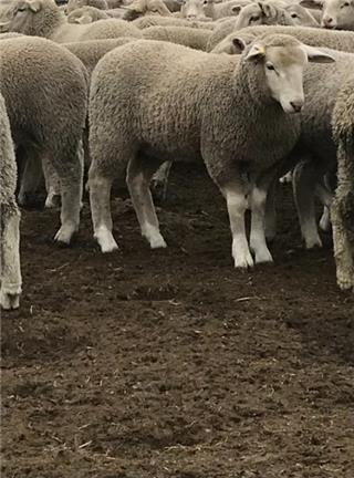 720 Mixed Sex Lambs
