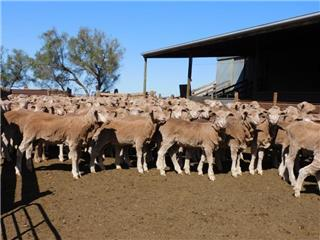 371 Store Wether Lambs
