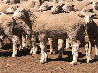 280 Store Wether Lambs