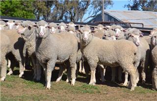 98 Future Breeder Ewe Lambs