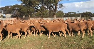 100 Ewes