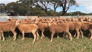 97 Future Breeder Ewe Hoggets