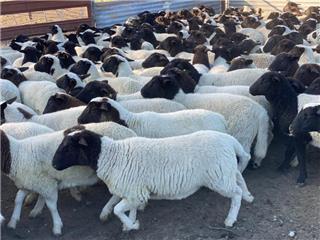125 NSM Ewes