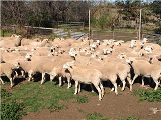 50 Future Breeder Ewe Lambs