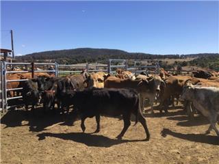 52 NSM Cows
