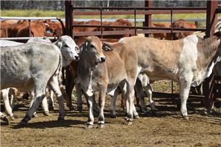 13 Weaned Steers