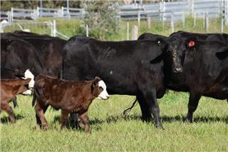 41 NSM Heifers & 41 Calves