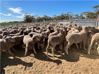 440 Store Wether Lambs
