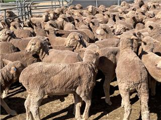 260 Store Wether Lambs