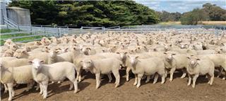 295 Mixed Sex Lambs