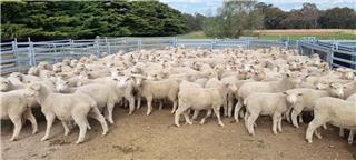 190 Mixed Sex Lambs