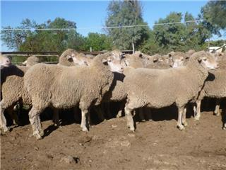 65 NSM Ewes