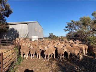 118 Future Breeder Ewe Hoggets