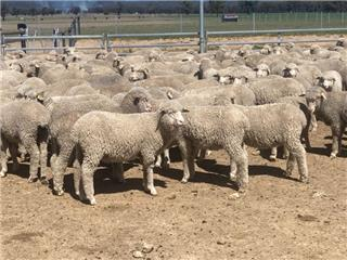 300 Store Wether Lambs