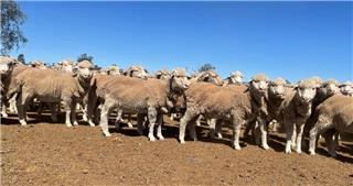 240 Wether Lambs