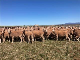 82 Future Breeder Ewe Hoggets