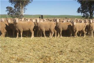 170 Future Breeder Ewe Hoggets