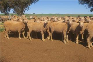 179 Ewes