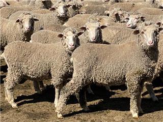 750 Future Breeder Ewe Lambs
