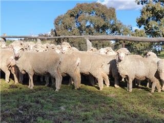 68 SIL Ewes
