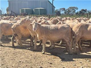 155 Ewes