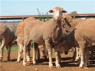 520 Ewes