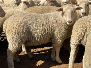 195 Store Wether Lambs