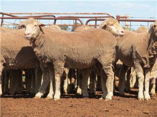 80 Ewes