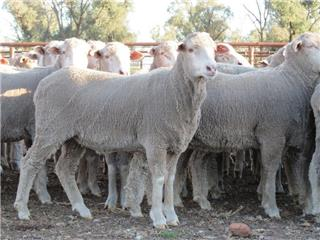 100 Scanned Empty Ewes