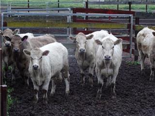 8 Weaned Steers