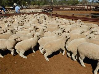 350 Mixed Sex Store Lambs