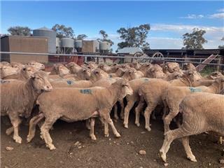 56 Ewes