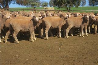 89 Future Breeder Ewe Hoggets