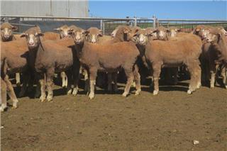 62 Future Breeder Ewe Hoggets